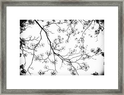 Dogwood In Bloom  Black And White Framed Print by Mother Nature