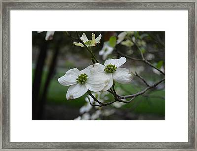 Framed Print featuring the photograph Dogwood by Linda Geiger