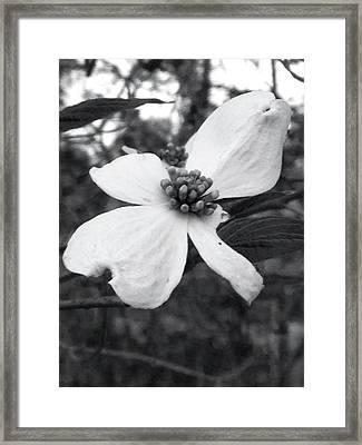 Dogwood Framed Print by Raven Moon