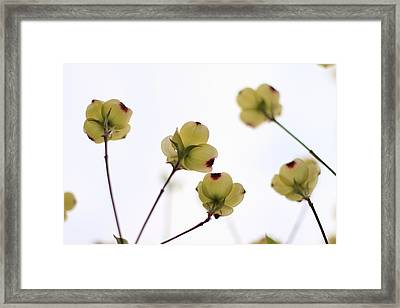 Dogwood Sky Framed Print