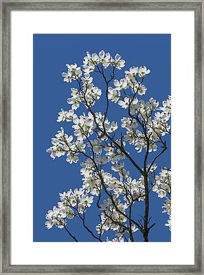 Dogwood Tree In Spring Framed Print
