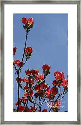 Framed Print featuring the photograph Dogwood by Victor K