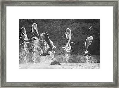 Dolphin Dance Framed Print by Wilko Van de Kamp