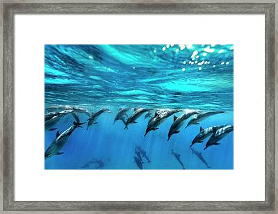 Dolphin Dive Framed Print by Sean Davey