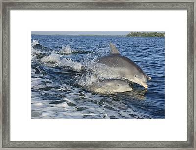 Dolphin Family Framed Print by Tara Moorman Photography