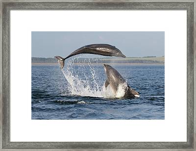 Dolphins Having Fun Framed Print
