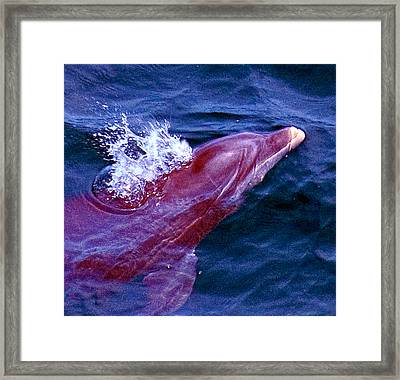 Dolphin In The Gulf Framed Print by Bill Perry