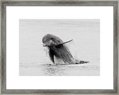 Dolphin Out The Water Framed Print by Phil Stone