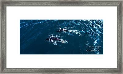Dolphin Pair Framed Print