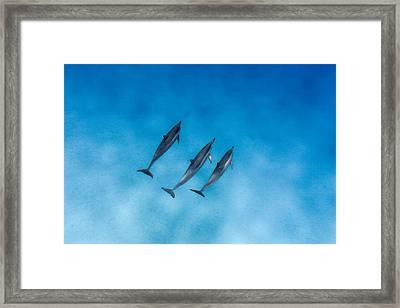 Dolphin Trio Framed Print by Sean Davey