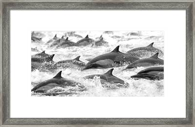 Dolphins On The Run Framed Print by Steve Munch
