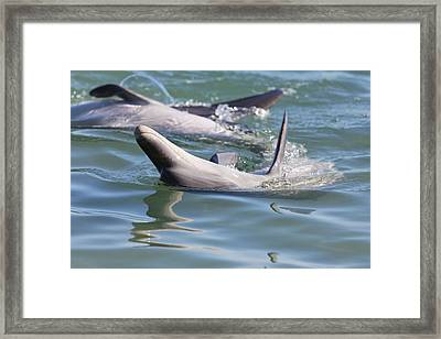 Dolphins Playing Framed Print by Lenscraft Niel Morley