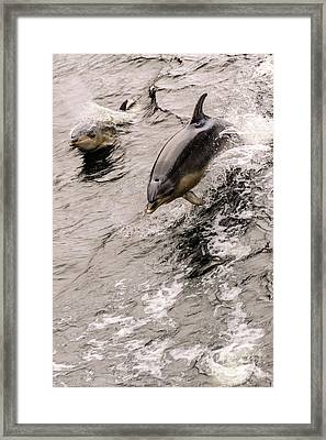 Dolphins Framed Print by Werner Padarin