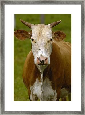 Domestic Cattle Bos Taurus Female Framed Print