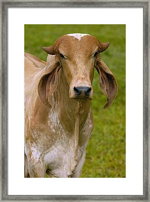 Domestic Cattle Bos Taurus Male Framed Print