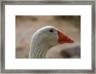 Domestic Goose Framed Print