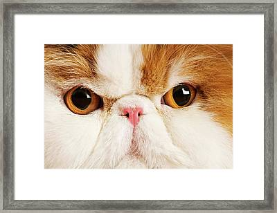 Domestic Persian Cat Against White Background. Framed Print by Martin Harvey
