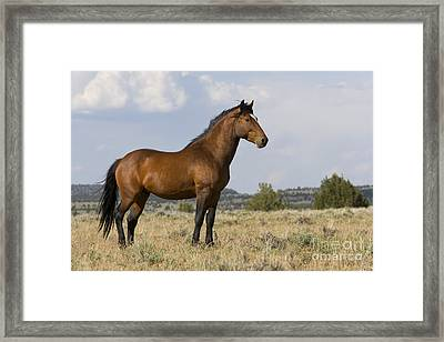 Dominant Stallion Framed Print