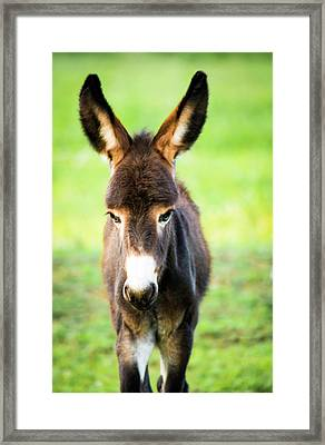 Donkey Ears Framed Print by Shelby Young