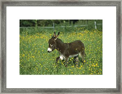 Donkey Equus Asinus Foal In Field Framed Print by Konrad Wothe