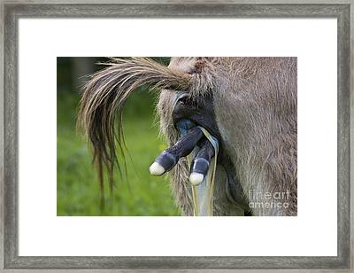 Donkey Giving Birth Framed Print by Jean-Louis Klein & Marie-Luce Hubert