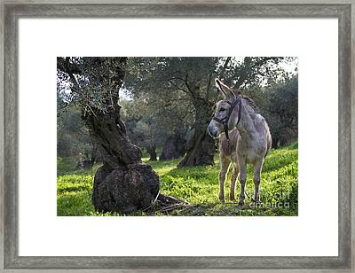 Donkey In An Olive Grove Framed Print by Jean-Louis Klein & Marie-Luce Hubert