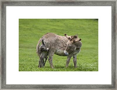 Donkey Mother And Young Framed Print
