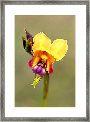 Donkey Orchid Framed Print by Tony Brown