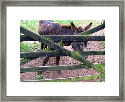 Donkey Ready Framed Print by Mindy Newman