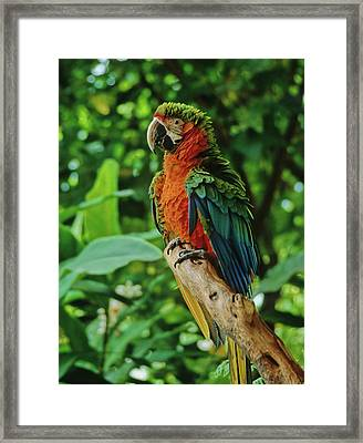 Framed Print featuring the photograph Don't Ruffle My Feathers by Marie Hicks