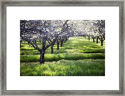 Door County Cherry Blossoms Framed Print