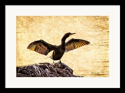 Double-crested Cormorant Framed Prints