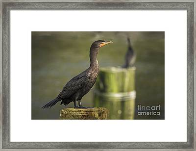 Double Crested Cormorant Framed Print by Inge Riis McDonald