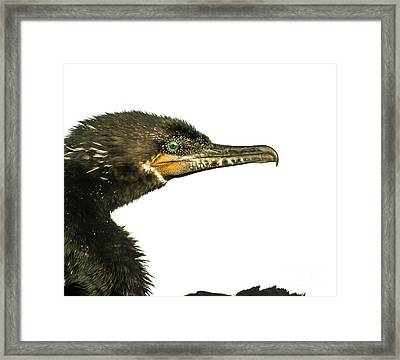 Framed Print featuring the photograph Double-crested Cormorant  by Robert Frederick