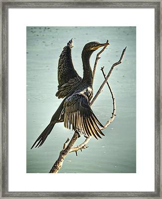 Double Crested Cormorant  Framed Print by Saija  Lehtonen