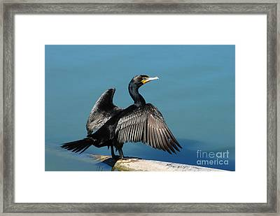 Double-crested Cormorant Spreading Wings Framed Print by Merrimon Crawford