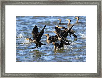 Double Crested Cormorants Framed Print by Louise Heusinkveld