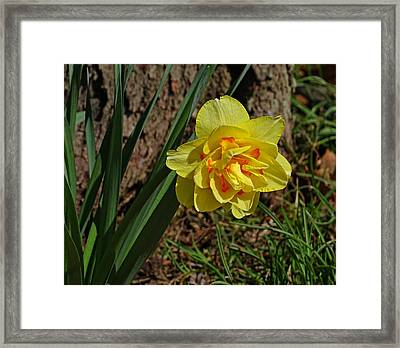 Double Daffodil Framed Print by Sandy Keeton