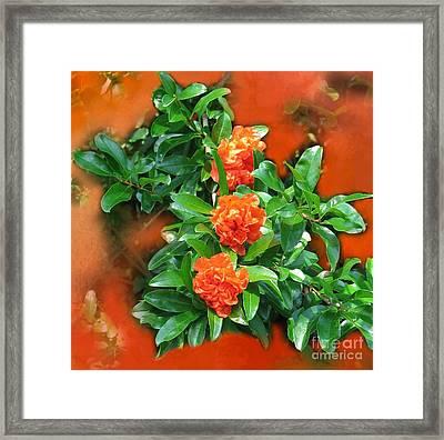 Double Flowering Pomegranate Framed Print