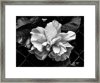Double Hibiscus Flower Black White Print Framed Print by Kathy Daxon