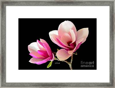 Double Magnolia Blooms Framed Print by Jeannie Rhode