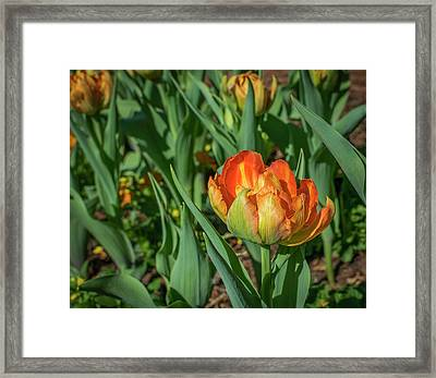 Double Multicolor Tulips Framed Print