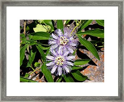 Double Passionflora Framed Print by Connie Diane Richards