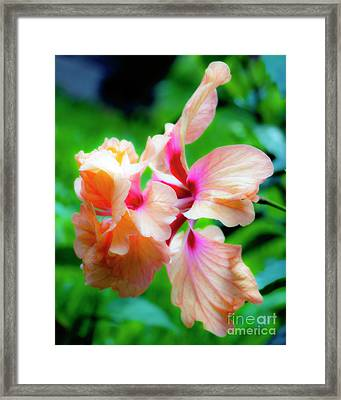 Double Peach Hibiscus Two Framed Print