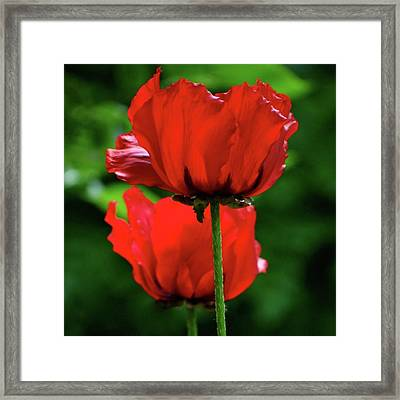 Double Red Poppies Framed Print