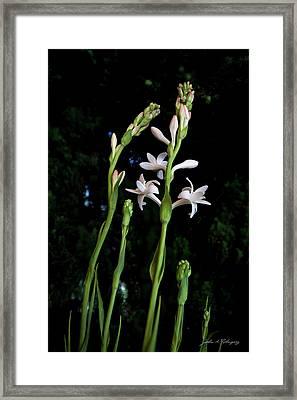 Double Tuberose In Bloom Framed Print