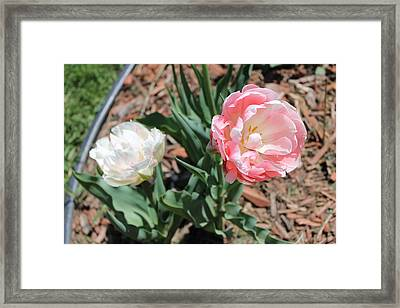Double Tulip Framed Print