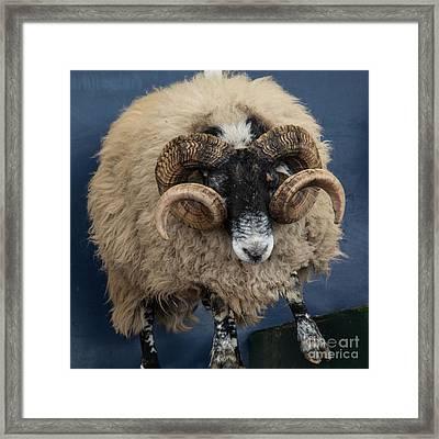 Dougal The Dancing Sheep  Framed Print by Rob Hawkins