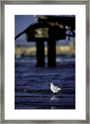 Dove In Theold Port Of Tel  Aviv Framed Print