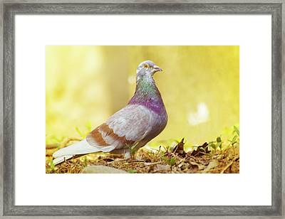 Dove  Standing Close Up Framed Print